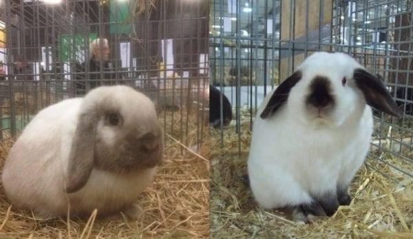 Кролик-баран: виды и условия содержания