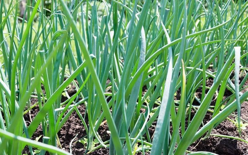 Как правильно выращивать крупный лук в открытом грунте