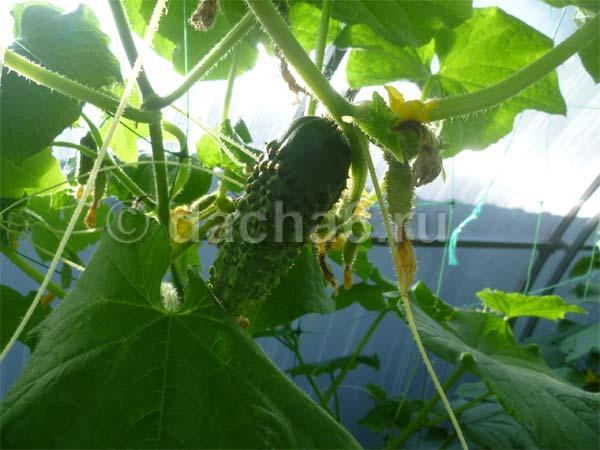 Выращивание огурца кибрия