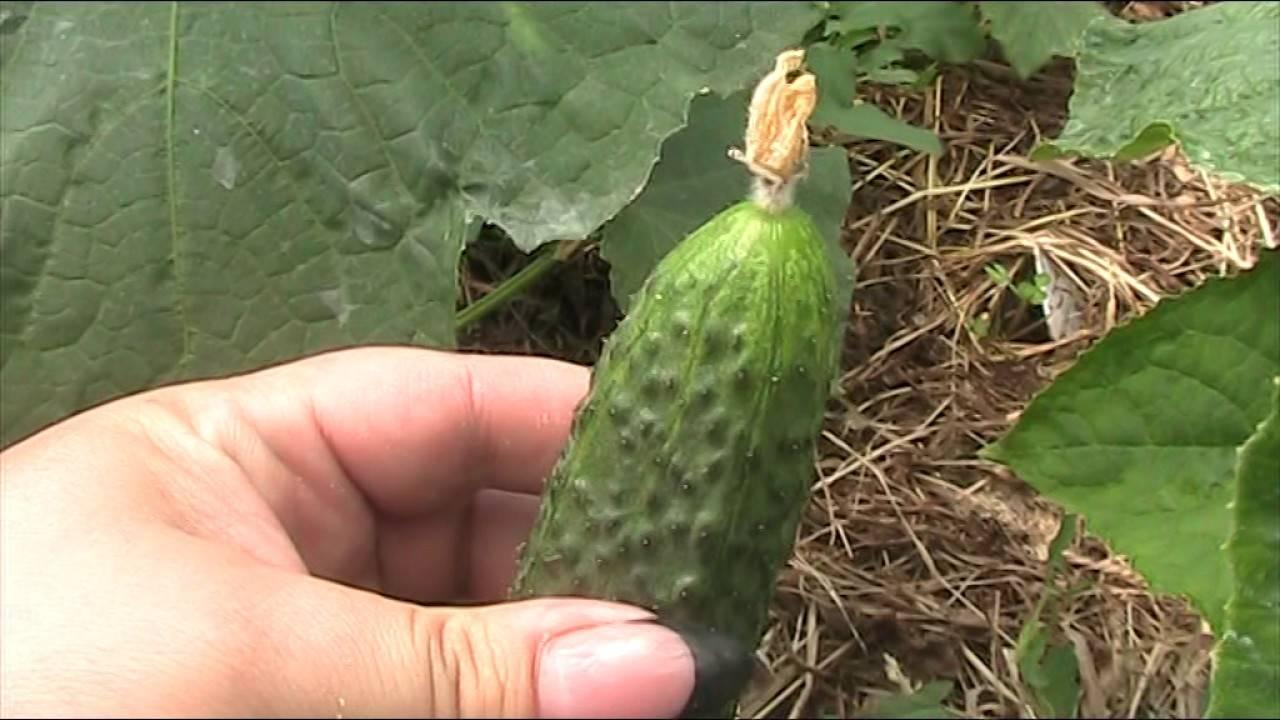 Огурец маша: описание сорта, фото и отзывы об урожайном гибриде