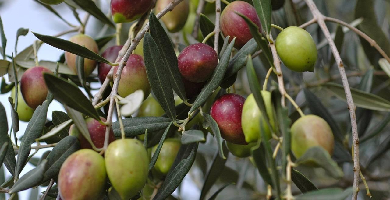 Оливковое дерево: уход в домашних условиях