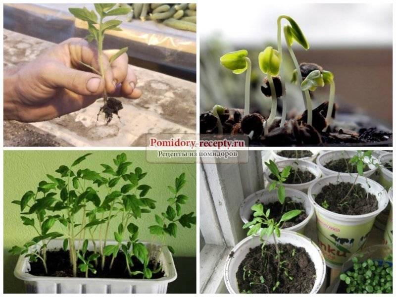 6 шагов как замачивать семена помидоров перед посадкой.