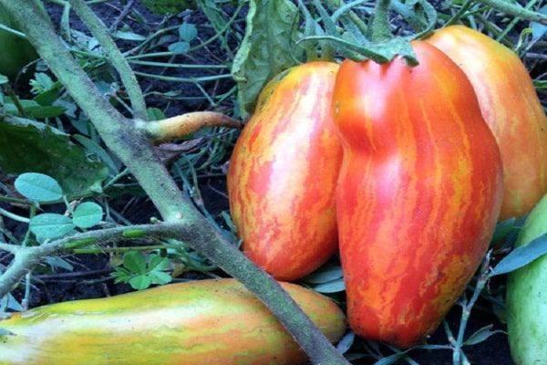 Томат «цунами»: прекрасный сорт для выращивания в теплице