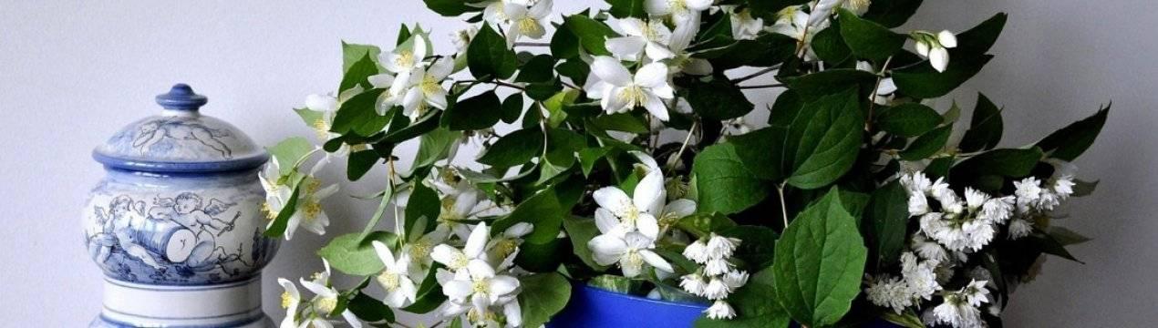 Цветок жасмин комнатный