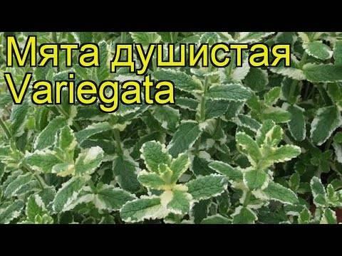 Как посадить мяту в огороде