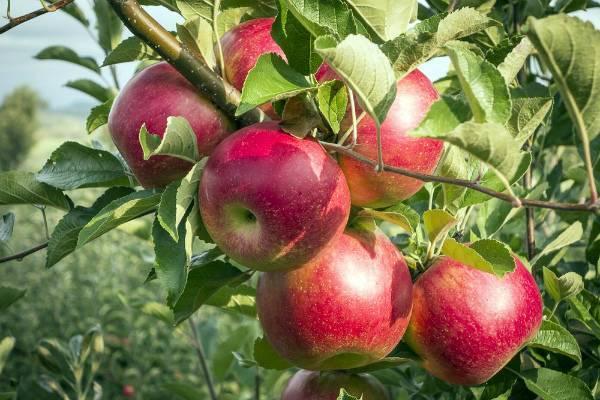 Описание и характеристики яблони сорта Серебряное копытце, посадка и уход