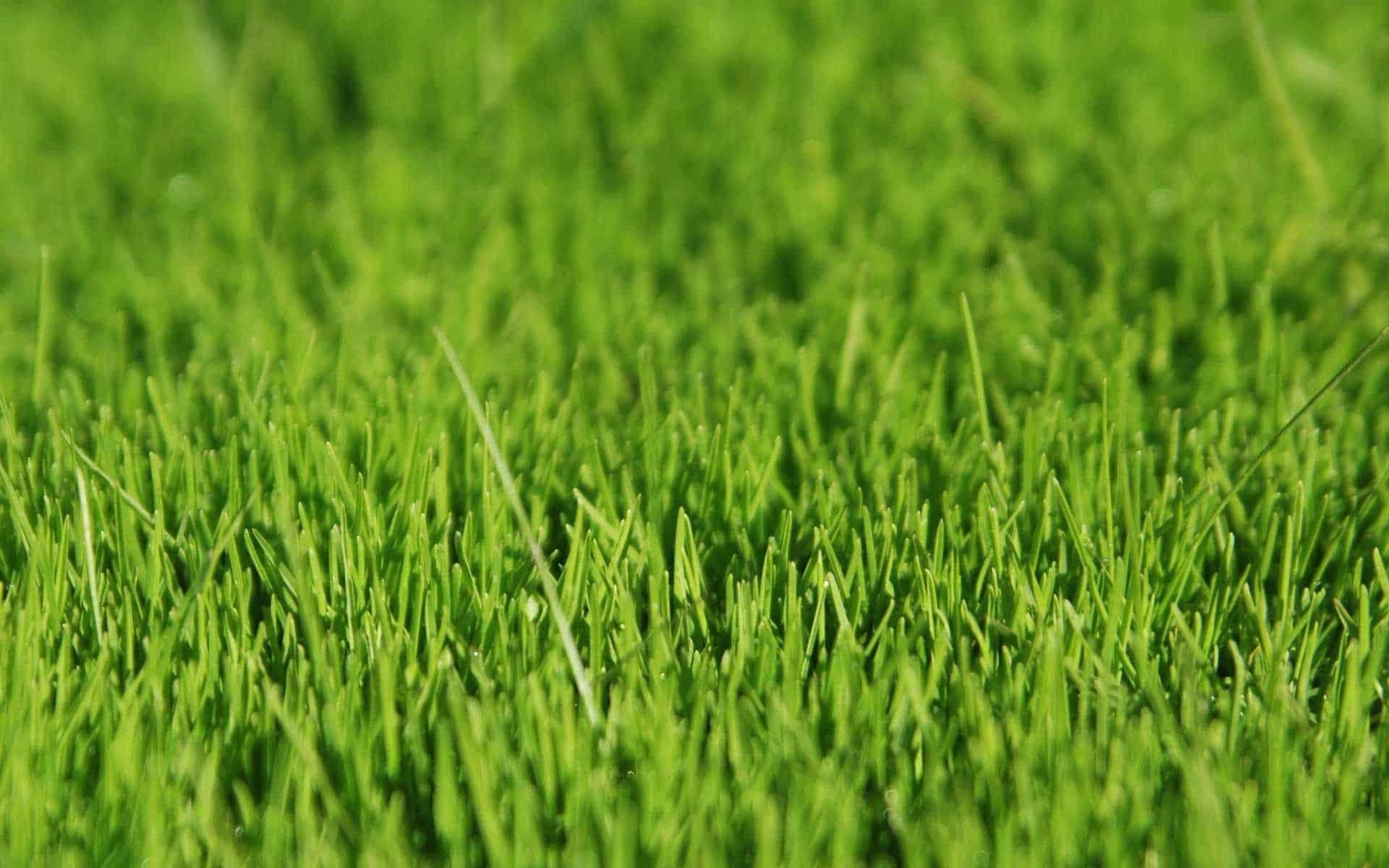 Описание газонной травы, которая уничтожает сорняки и чем засеять участок