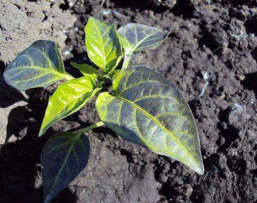 Фиолетовые листья у перца: что делать, почему, чем подкормить