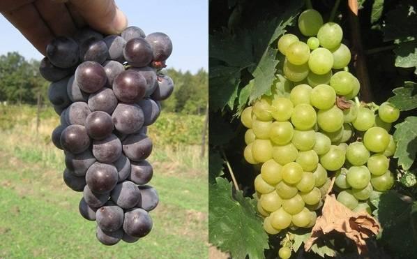 Виноград восторг: характеристики, способы выращивания и методы размножения