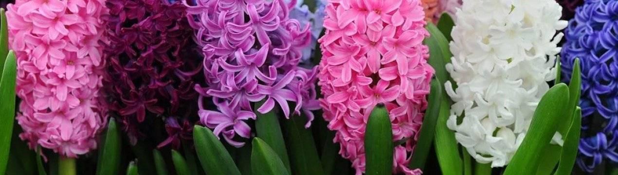 Цветок дождя - гиацинт: описание, родина растения и его фото