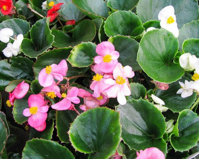 Уход в домашних условиях за вечноцветущей бегонией