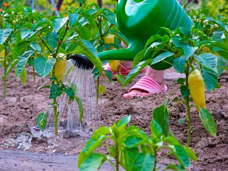 Технология и правила полива перца в теплице и открытом грунте