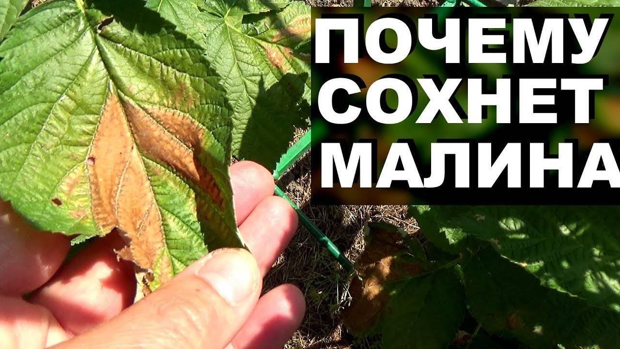 Почему желтеют листья у малины весной или летом и что делать