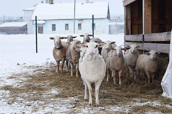 Описание и характеристика овец катунской породы которых не надо стричь