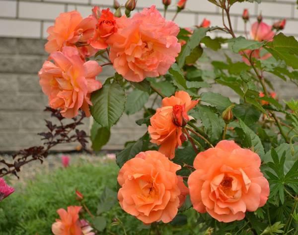 Роза куин элизабет (queen elizabeth) — описание сортового растения