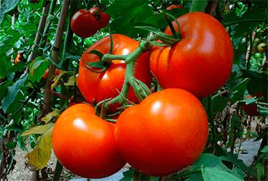 Устойчивый к жаре и холодам томат «белый налив»: описание и характеристика сорта, особенности выращивания помидоров