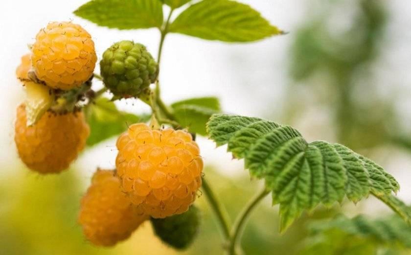 Сушка листьев малины и смородины на зиму