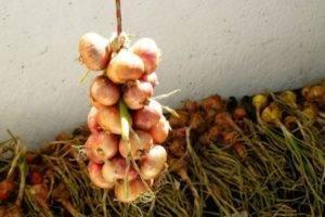 Холодоустойчивый сорт лука «сеттон» для долгого хранения