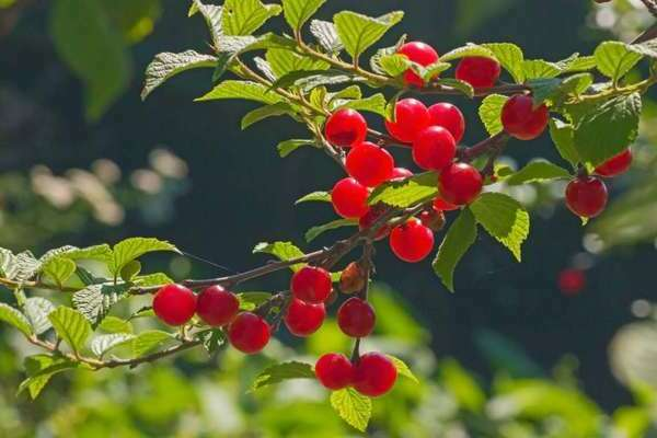 10 лучших сортов вишни для северо-западного региона
