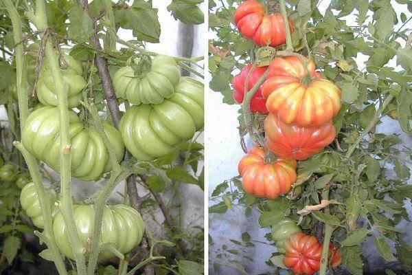 Оригинальный томат «лотарингская красавица» : описание сорта, фото