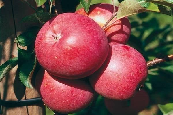 Описание сорта яблони Элиза и ее преимущества, урожайность и регионы выращивания