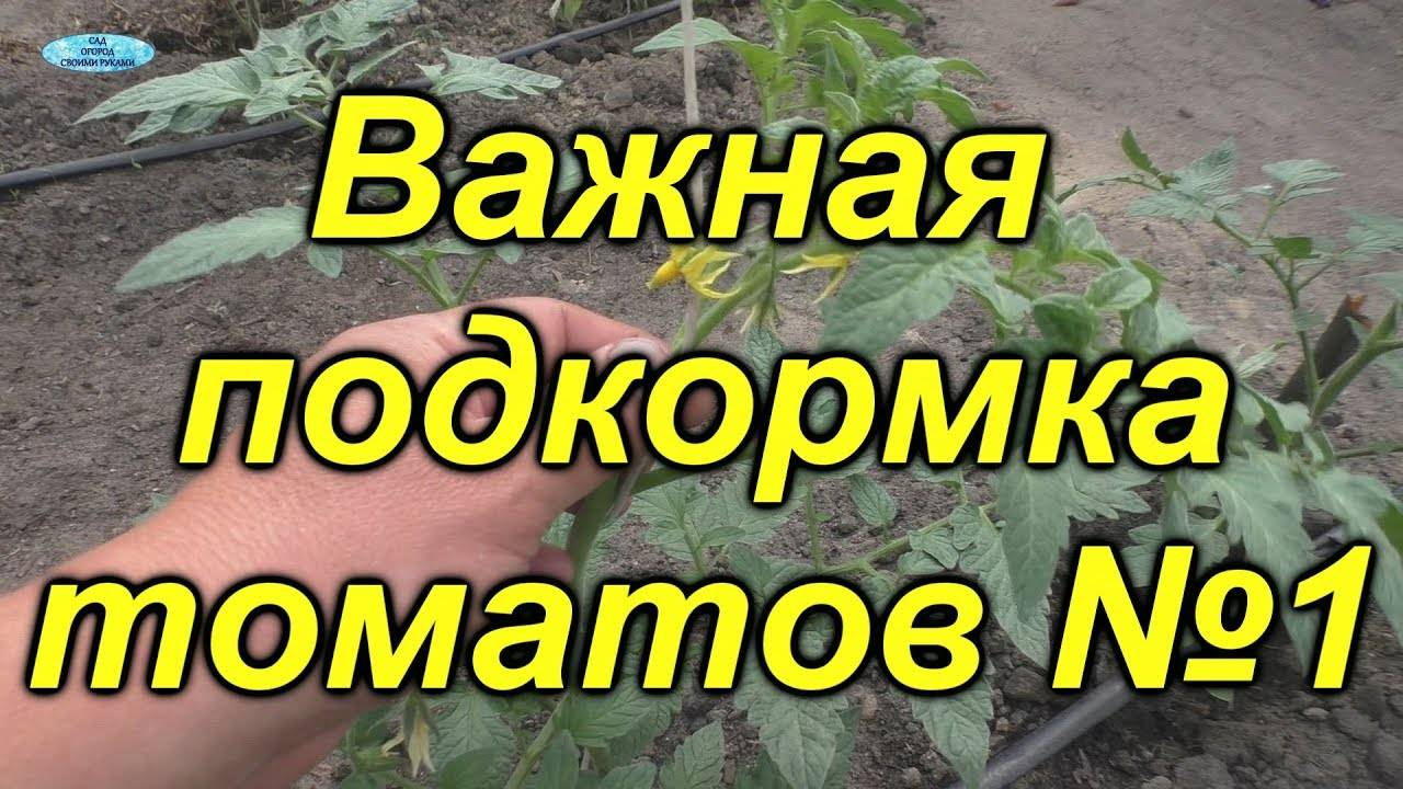 Как и чем нужно подкормить помидоры (томаты) после высадки в грунт