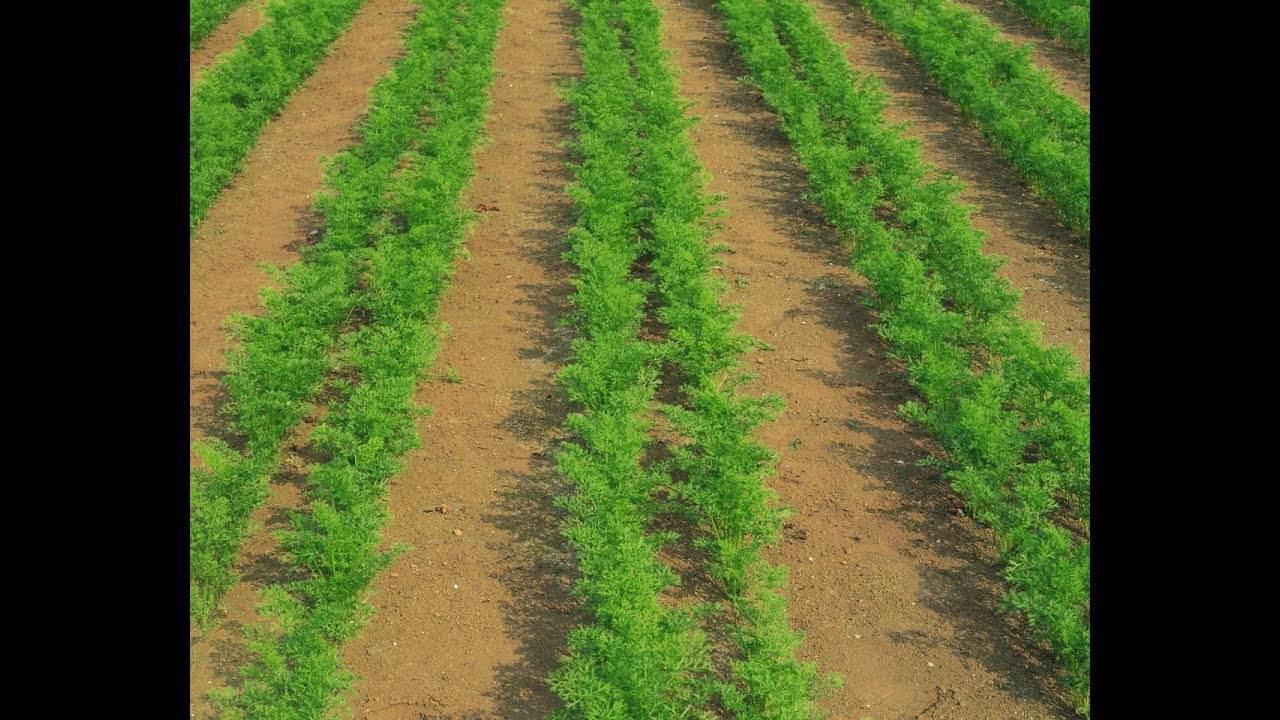 Применение солярки при выращивании моркови