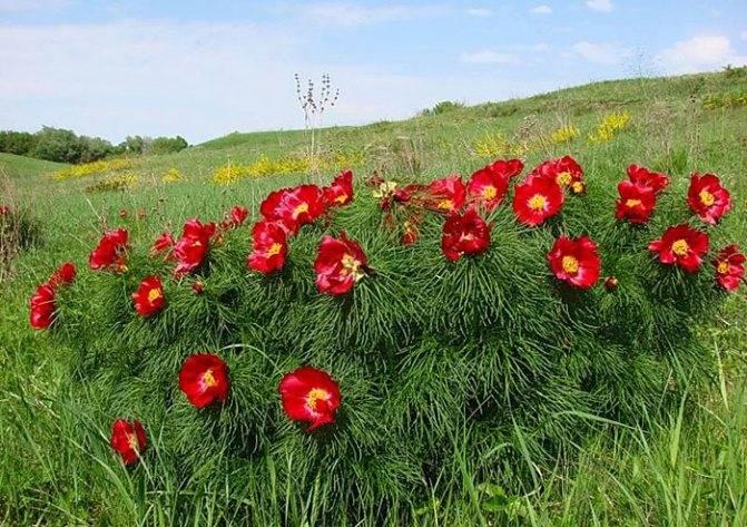 Особенности выращивания травянистых пионов