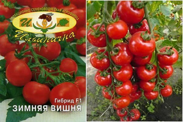 Урожайность, описание и характеристики сорта томата Зимняя вишня