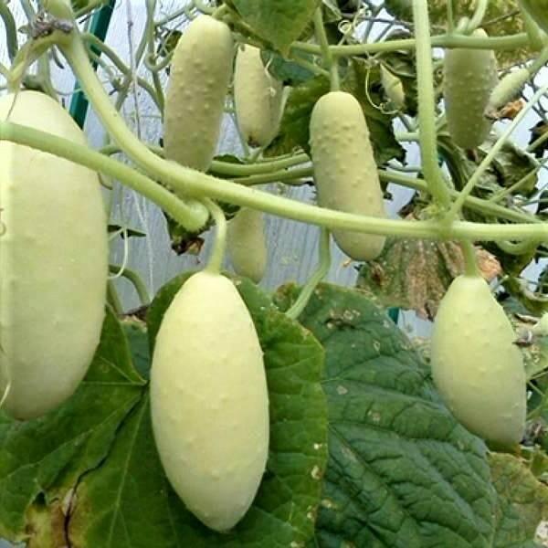 Сорта белых огурцов: 7 вариантов для салатов и закаток