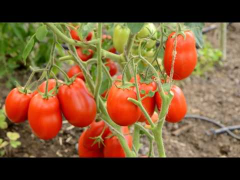 Томат пинк буш f1: описание гибрида и особенностей его выращивания