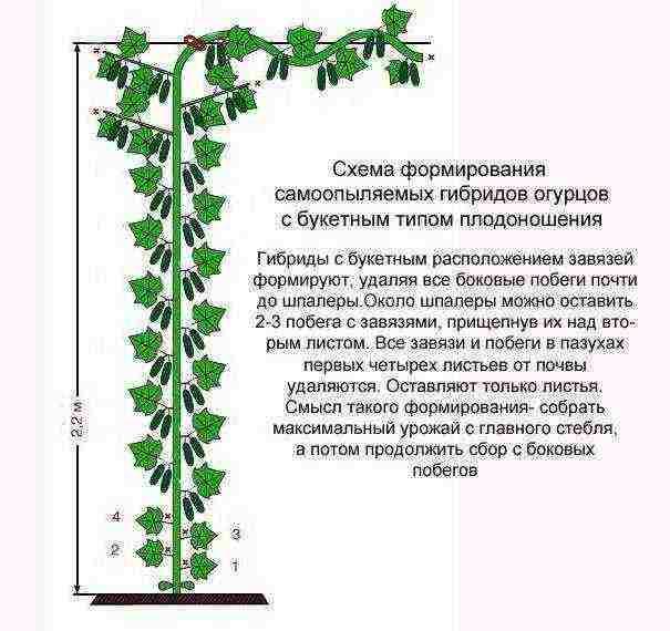 Все правила выращивания огурцов в открытом грунте