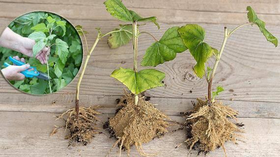 Когда и как посадить смородину весной: сроки и правила высадки саженцев в открытый грунт