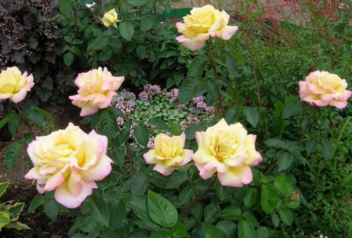 Парковые розы в ландшафтном дизайне: самые красивые сорта, правила посадки и ухода
