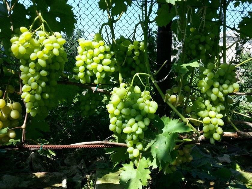 Что отличает каберне совиньон от других сортов винограда