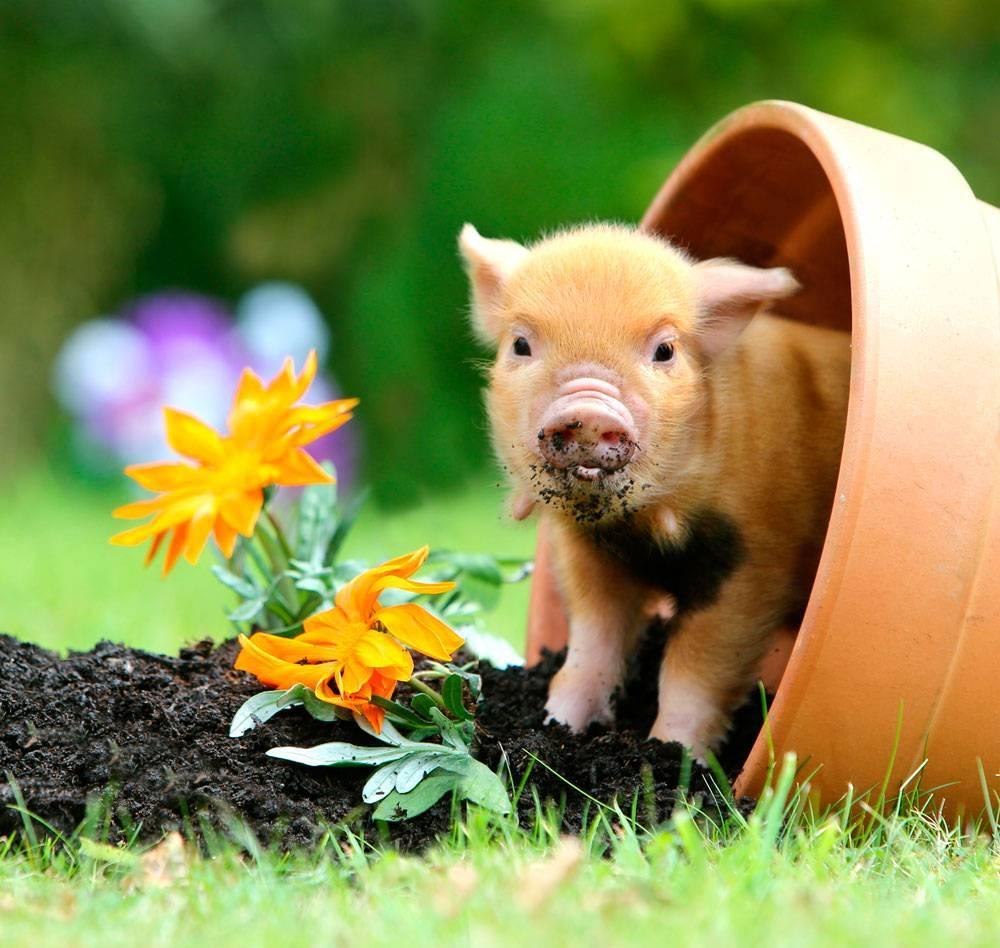 Мини пиги — описание и характеристика декоративных свинок