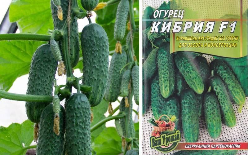 Сорт огурца кибрия: выращивание, посадка и уход, фото