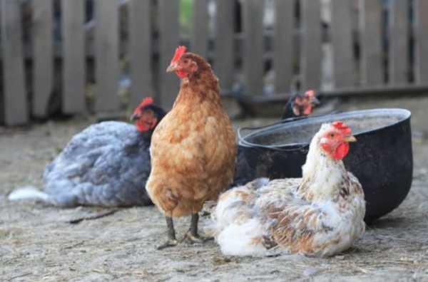 Хрипы и кашель у кур — опасно ли это и как правильно лечить?