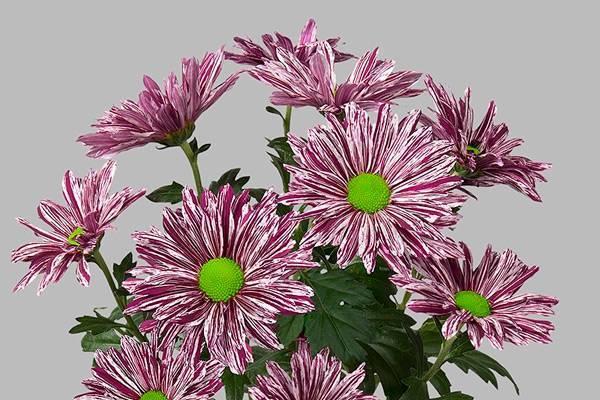 Хризантемы: выращивание из семян в саду