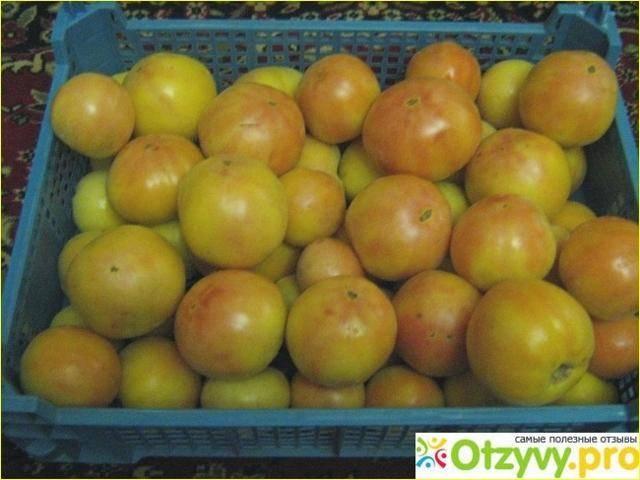 Сорт томата лонг кипер