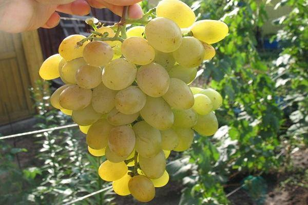 Виноград ланселот описание сорта фото. виноград ланселот: описание сорта, фото, отзывы