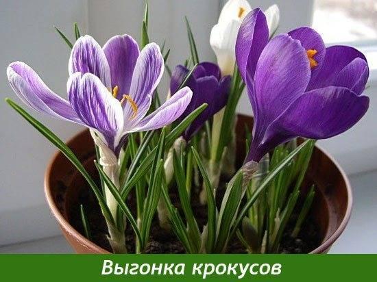 Как проводится выгонка крокусов в домашних условиях к новому году и 8 марта