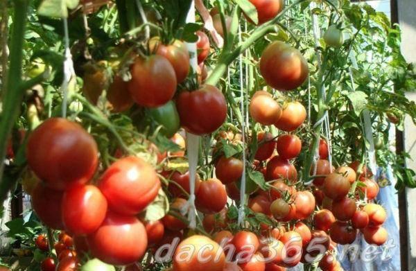 Описание сорта томата белоснежка, его характеристики, посадка и уход