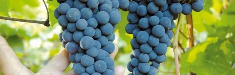 Описание винограда сорта зарево, правила посадки и выращивания