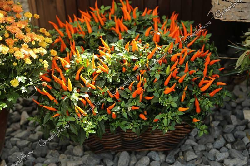 Декоративный перец: выращивание комнатного растения. обзор сортов, правила содержания и советы по уходу (135 фото и видео)