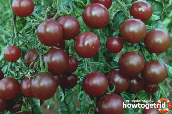 Характеристика и описание сорта томата чудо лентяя, его урожайность