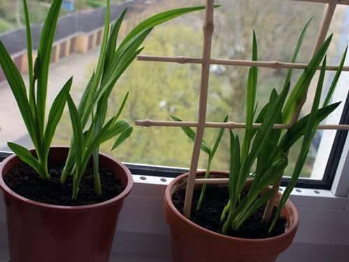 Посадка и уход за фрезией в домашних условиях, как вырастить из луковицы