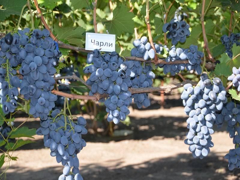 Виноград тукай: описание и характеристики сорта, преимущества и недостатки, выращивание