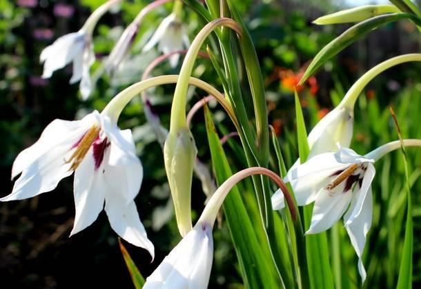 Цветы ацидантера посадка выращивание и уход в открытом грунте и в домашних условиях