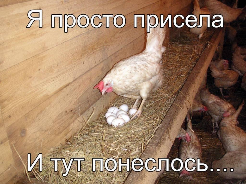 Сколько яиц несет курица в день: средние результаты